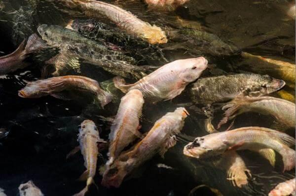 Nằm mơ thấy cá với từng trường hợp thấy các loại cá khác nhau