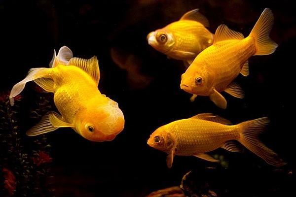 Giải mã mơ thấy cá, giấc mơ thấy cá sấu, cá chép, thấy nhiều cá và 8 điều bạn chưa biết