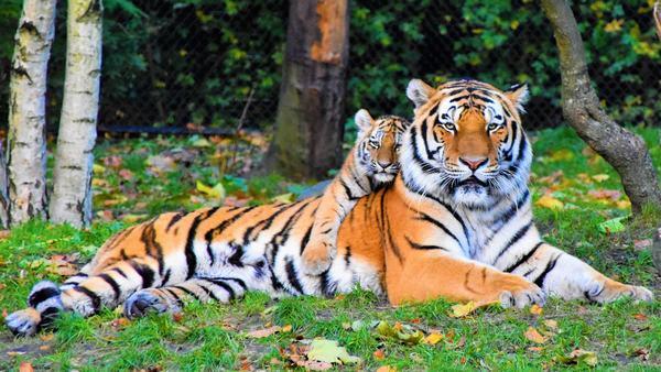 Nằm mơ thấy hổ có điềm báo gì, có đáng sợ không?