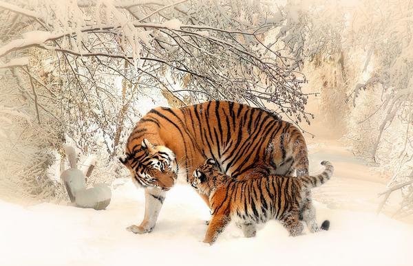 Nằm mơ thấy hổ (cọp, dần) liên quan đến những con số gì?