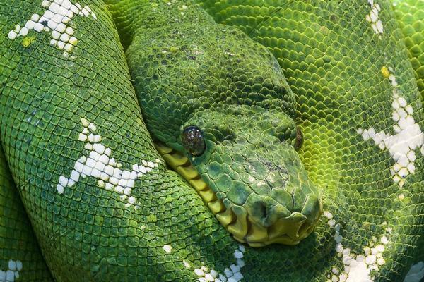 Nằm mơ thấy 2 con rắn, mơ thấy 3 con rắn báo điềm gì, nên đánh con số nào?