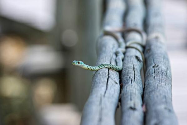 Nằm mơ thấy 2 con rắn thì đó là một điềm cực xấu. Giấc mơ này ngầm ám thị rằng sức khỏe bạn đang suy giảm trầm trọng.