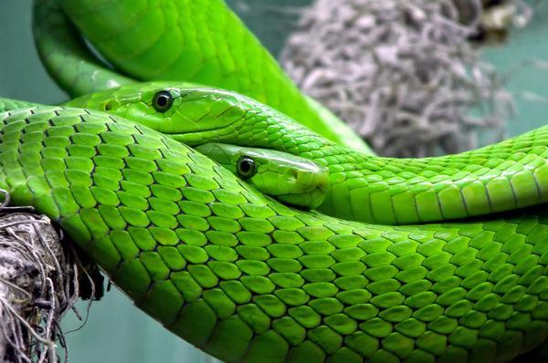 Mơ thấy 2 con rắn tấn công mình - gặp cản trở trong công việc