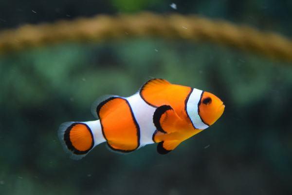 Theo quan điểm truyền thống của người Trung Quốc về giấc mơ, mơ thấy một con cá có nghĩa là điềm báo cho vận may.