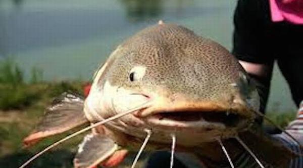 Chiêm bao mô thấy bắt cá trê hay đơn thuần chỉ mơ thấy cá trê thường là điềm báo đánh dấu một sự thay đổi lớn trong vấn đề tình cảm.