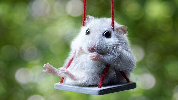 Giấc mơ thấy chuột bạch sẽ mang điềm báo lành cho người nằm mộng