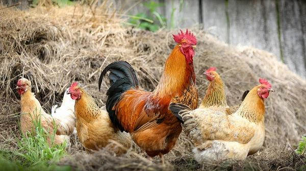 Mơ thấy gà con, gà rừng, gà trống mái báo hiệu những điềm gì, đánh con gì?