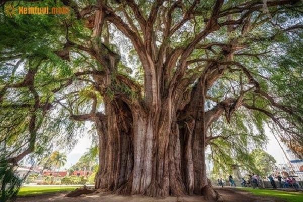 Tử vi mệnh Tùng Bách Mộc (Gỗ cây Tùng, Bách) 1950 1951 - 2010 2011: Nghĩa là gì, hợp màu và mệnh nào?