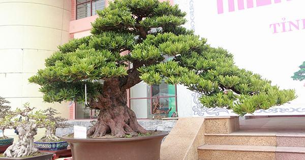 Cây Tùng La Hán (Vạn Niên Tùng) - mạng Mộc hợp với cây gì, trồng cây gì trước nhà