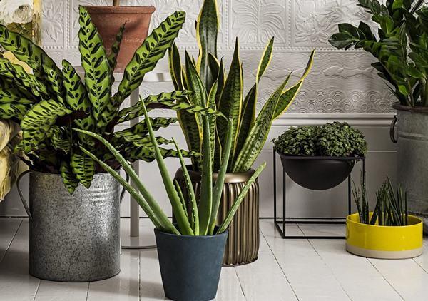 Cây phong thủy hợp mệnh Mộc nên trồng trong nhà, trước nhà hoặc trên bàn làm việc
