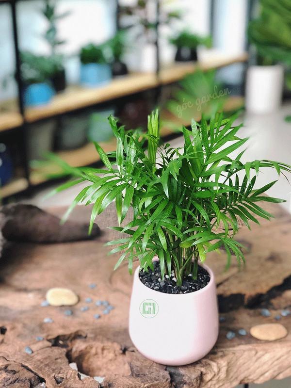 Cây Cau Tiểu Trâm - mệnh Mộc trồng cây gì