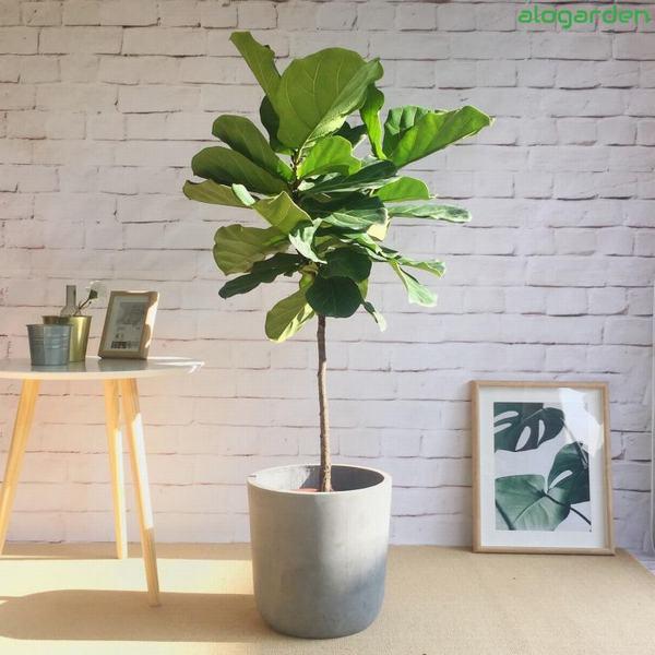 Cây Bàng Singapore - cây cho người mệnh Mộc