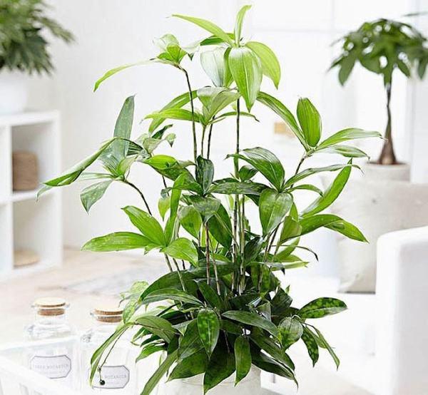 Cây Trúc Nhật - trồng cây hợp mệnh Mộc