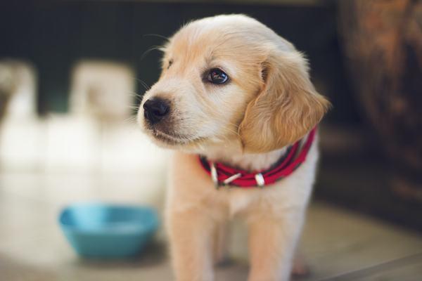 Giải mã giấc mơ thấy chó con màu vàng báo điềm gì?