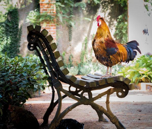 Mơ thấy gà trống đi vào nhà hàm ý gì?