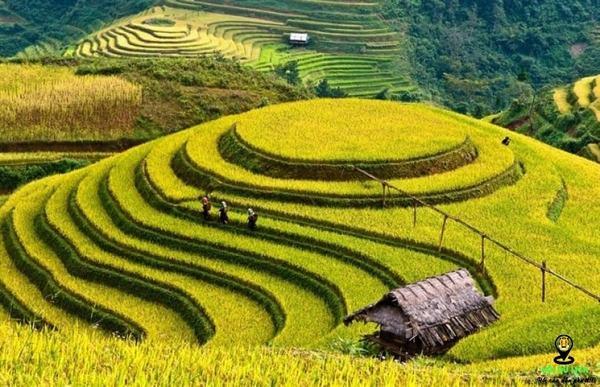 Ý nghĩa nằm mơ thấy gặt lúa chín mang điềm lành hãy dữ?