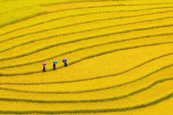 Giấc mơ thấy đi cấy lúa có ý nghĩa gì?