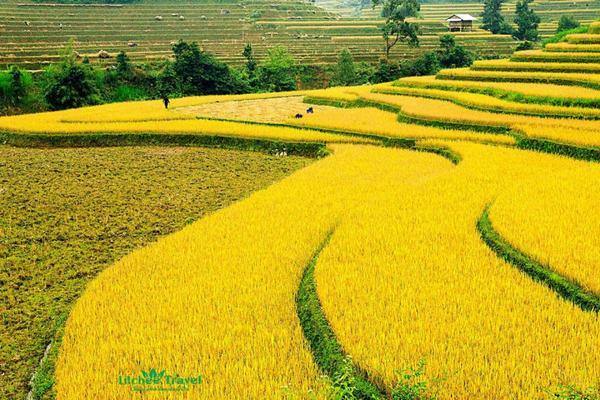 Mơ thấy cánh đồng ruộng lúa