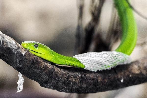Nằm mơ thấy rắn lột xác đánh con gì, báo điềm gì | Giải mã giấc mơ rắn lột da toàn tập