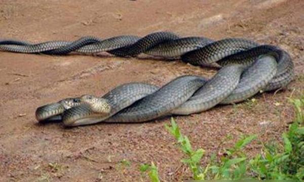 Ngủ nằm mơ thấy 2 con rắn quấn vào nhau