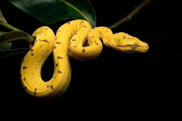 Nằm mơ thấy rắn vàng đánh con gì, là điềm gì? Ngủ mơ thấy con rắn màu vàng cắn vào tay, vào chân